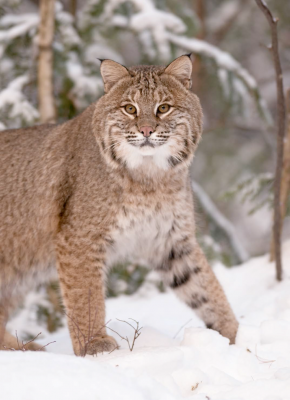 NORTHERN MOUNTAIN BOBCAT - Photo by Roger Irwin