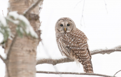 BARRED OWL ON ALERT - Photo by Roger Irwin
