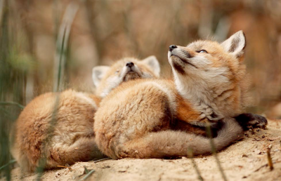 RED FOX KITS RELAXING - Photo by Roger Irwin