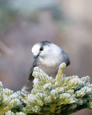 Canada Jay on Spruce Branch - Photo by Roger Irwin