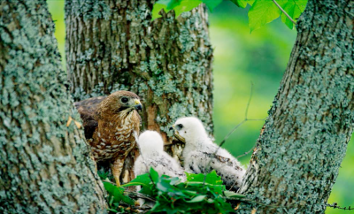 MOTHER HAWK WITH CHICKS IN ASH TREE - Photo by Roger Irwin