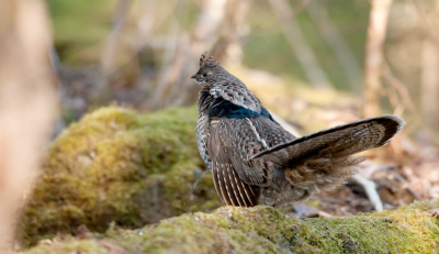 RUFFED GROUSE ON THE LOOKOUT - Photo by Roger Irwin