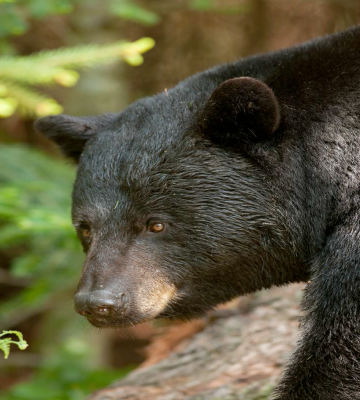 Northeast Kingdom Black Bear - Photo by Roger Irwin