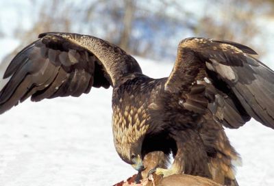 Golden Eagle Feeding - Photo by Roger Irwin