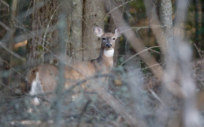 White-Tailed Doe in the Brush - Photo by Roger Irwin