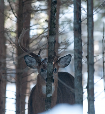 OLD WARRIOR WATCHING FROM THE FIRS - White-Tailed Buck - Photo by Roger Irwin